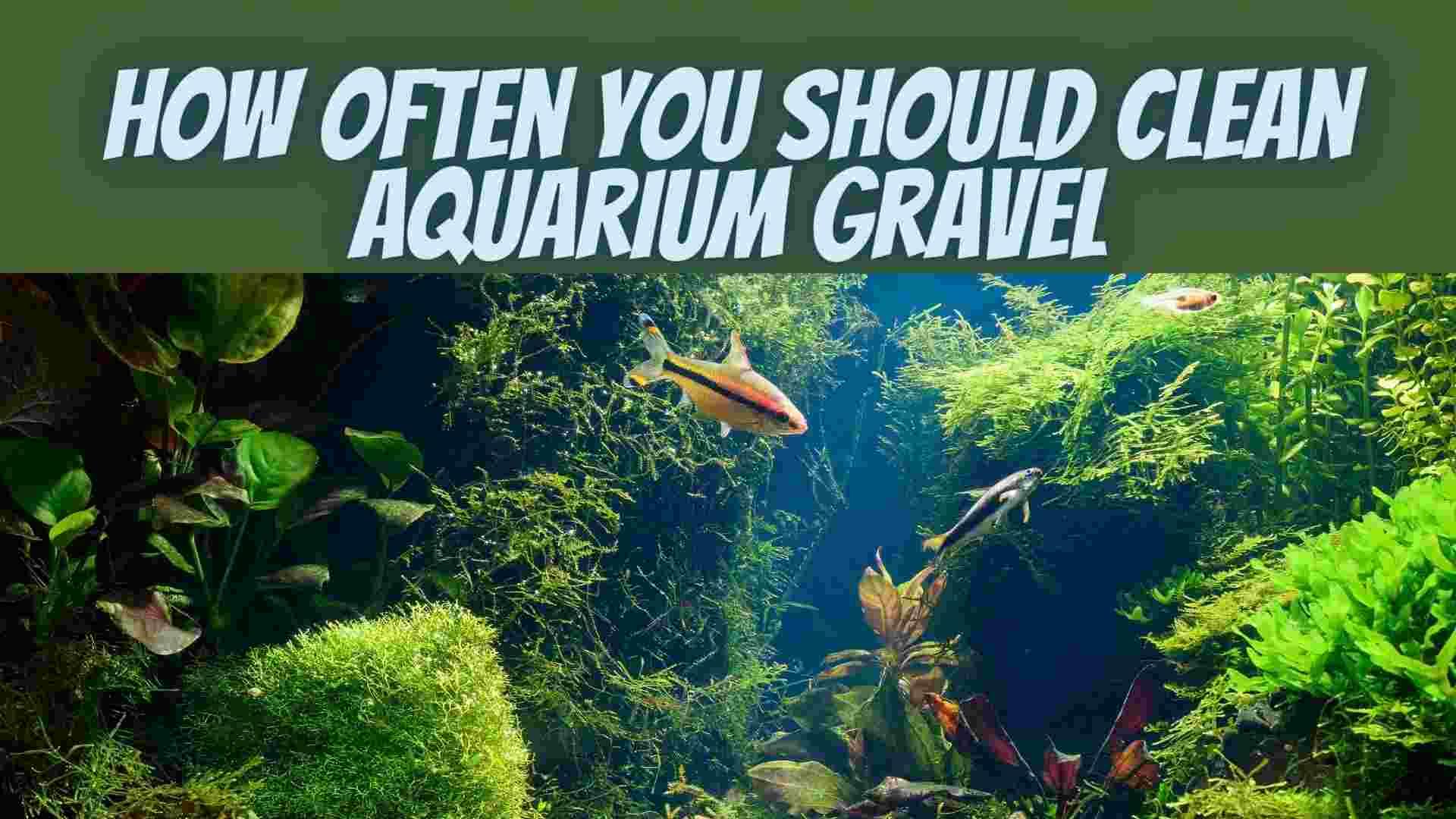 How Often You Should Clean Aquarium Gravel
